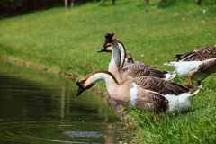 African Chinese geese Stock Image