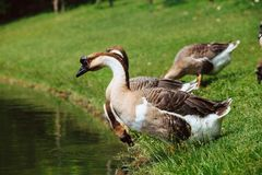 African Chinese geese Royalty Free Stock Photos