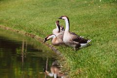 African Chinese geese Royalty Free Stock Photography