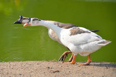 African Chinese Goose Stock Photos