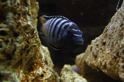 African cichlid Royalty Free Stock Image