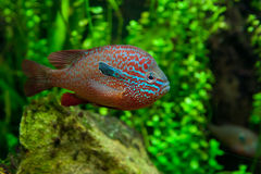 An African Cichlid Stock Photos