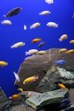 African Cichlid Aquarium Tropical Fish Stock Photo