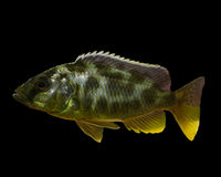 African cichlid on black Stock Photo