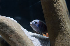 African cichlid Stock Image