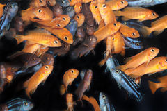 African Cichlids - aquarium fishes Royalty Free Stock Photography