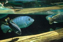 African cichlids Cichlidae swim in freshwater rivers in Africa Stock Images