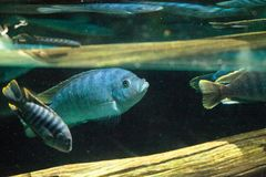 African cichlids Cichlidae swim in freshwater rivers in Africa Royalty Free Stock Photos
