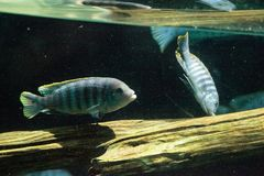 African cichlids Cichlidae swim in freshwater rivers in Africa Stock Photos