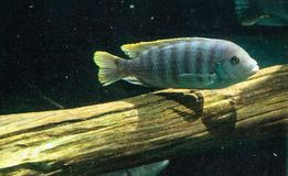 African cichlids Cichlidae swim in freshwater rivers in Africa Stock Photography