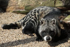 African civet Royalty Free Stock Photo