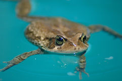 African Clawed frog. Portrait of African Clawed frog in blue water Stock Image