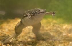 African Clawed Frog. Xenopus laevis swimming in a tank Stock Image