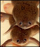 African clawed frogs Royalty Free Stock Photos