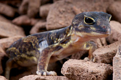 African clawed gecko Royalty Free Stock Image