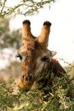 african close giraffe up Στοκ φωτογραφία με δικαίωμα ελεύθερης χρήσης