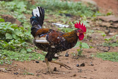 An African Cock Stock Photos