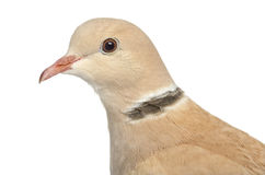 African Collared dove isolated on white Stock Photo
