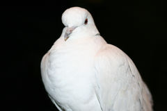 African Collared Dove (Streptopelia roseogrisea) Royalty Free Stock Photo