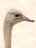 African Common Ostrich Head Shot (Struthio camelus) Stock Photos