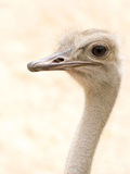 African Common Ostrich Head Shot (Struthio camelus) Royalty Free Stock Photography