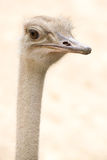 African Common Ostrich Head Shot (Struthio camelus) Stock Photo