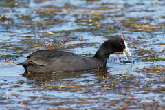 African coot Stock Image
