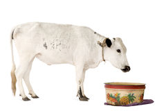African cows Stock Image