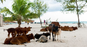 African cows on a beach Stock Photo