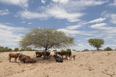 African cows. Herd of african cows resting in the shade of a camel thorn tree, Kaokoveld, Namibia, Africa Royalty Free Stock Photos
