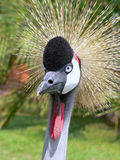 African crane Stock Photography