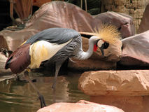 African crane. African crowned crane wading in the water Royalty Free Stock Images