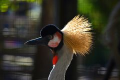 African Crane crazy Feather day royalty free stock image