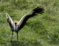 African Crested Crane Royalty Free Stock Photography