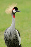 African Crested Crane Stock Images