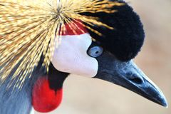 African Crested Crane Stock Photos
