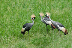 African Crested Cranes Royalty Free Stock Photography