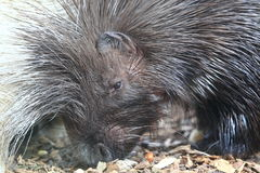 African crested porcupine Stock Photography