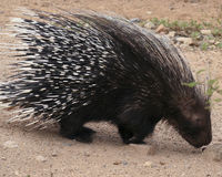 An African Crested Porcupine, Hystrix cristata Royalty Free Stock Images