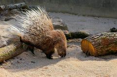 African Crested Porcupine Hystrix Cristata