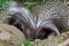 African Crested Porcupine Pair Stock Photography