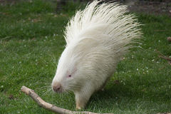 African crested porcupine. White variation of an african crested porcupine royalty free stock images