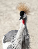 African Crested Stork Stock Photos