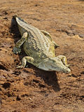 African crocodile Royalty Free Stock Photos