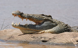 African Crocodile Stock Photography