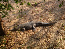African crocodile Royalty Free Stock Photos