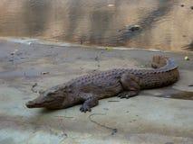 African crocodile Royalty Free Stock Image
