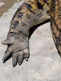 African crocodile leg. Leg and nails of african crocodile Stock Photo