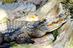 An african crocodile at the reptile park in Uganda. An african crocodile sunbathing at the reptile park in Uganda with fangs on display stock photography