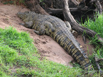 African crocodile Stock Image